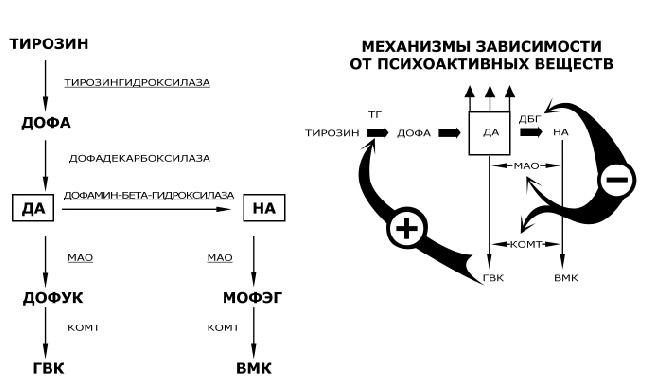 Рисунок 3.6. Основной путь синтеза и метаболизма нейромедиаторов